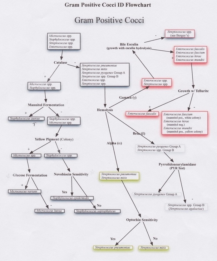 Gram Positive Cocci Flow Chart Ibovnathandedecker